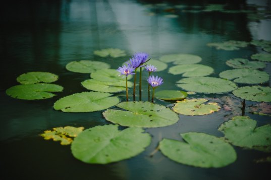 lily pad stillness